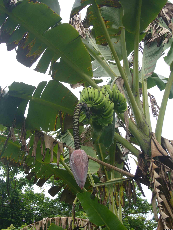 Банан браминов