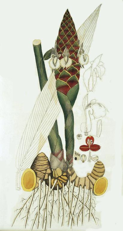 Имбирь (Zingiber oficinale) - шунти, нагара