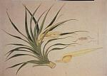 Панданус ароматнейший (Pandanus odoratissimus) - Кетаки