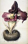 Аморфофаллюс колокольчатый (Amorphophallus campanulatus) - Сурана