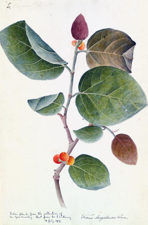 Баньян - Фикус бенгальский (Ficus bengalensis) - Вата, Нйагродха