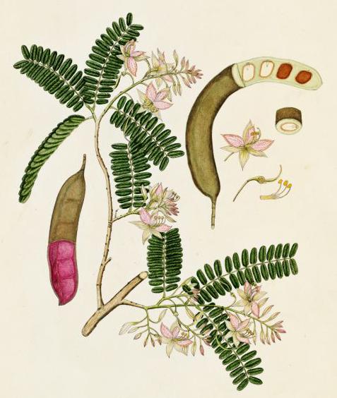 Тамаринд индийский (Tamarindus indicus) - Чинча, Амлика