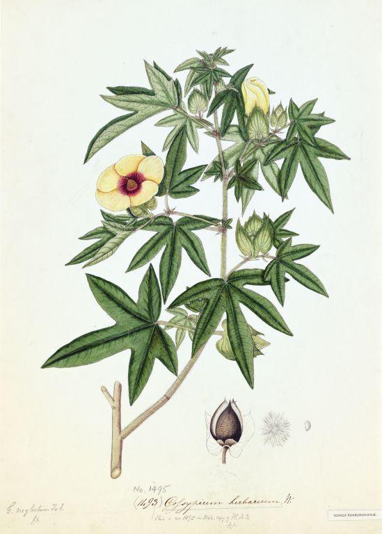 Хлопок (Gossypium herbaceum) - Вадара