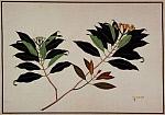 Гвоздичное дерево (Syzygium aromaticum) - Лаванга