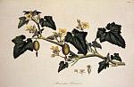 Момордика (Momordica charantia) - Каравэлла
