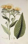 Девясил (Inula racemosa) - Пущкара