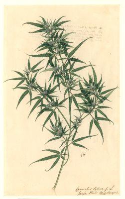 Конопля (рисунок с гербария)