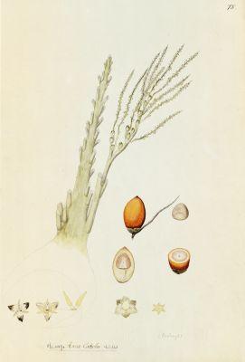Бетелевая пальма (рисунок с гербария)